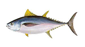 Outer Banks Bigeye Tuna Fishing