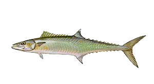 Outer Banks King Mackeral Fishing