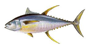 Outer Banks Yellowfin Tuna Fishing